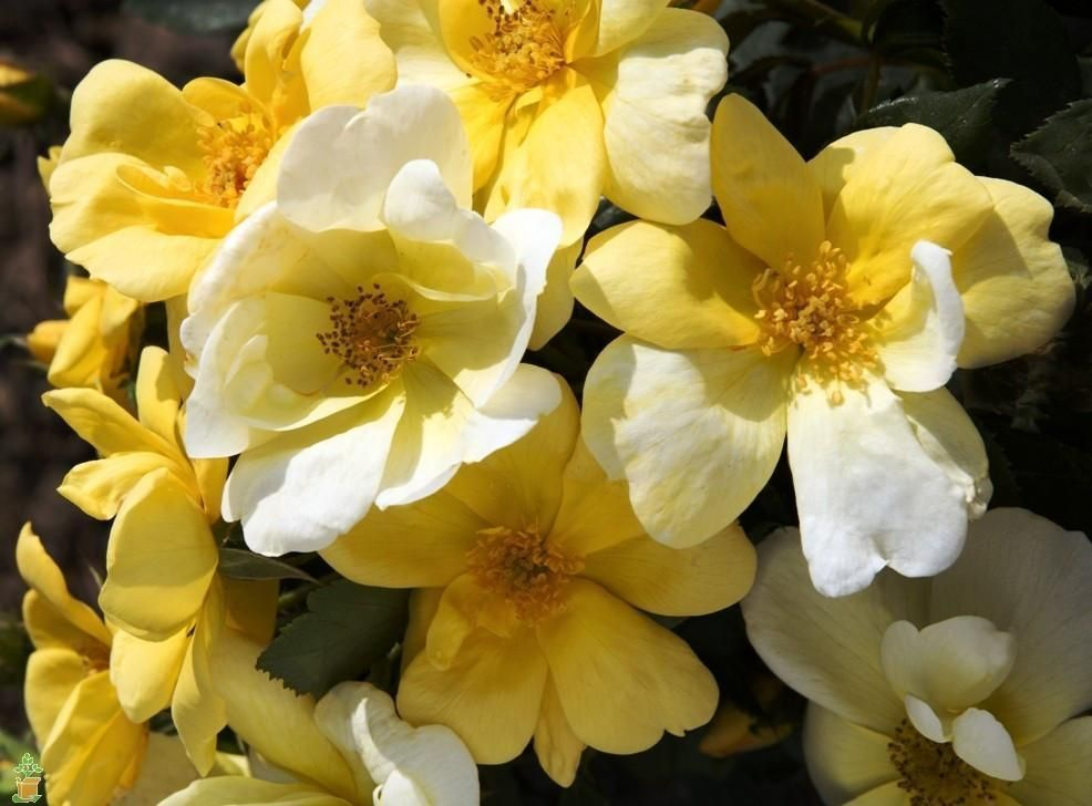 Sunny Knock Out® Rose Tree #knockoutrosen The disease resistant Sunny Knockout Rose Tree blooms spring through fall. This unique yellow rose tree will add class and beauty to your landscape with ease! #knockoutrosen Sunny Knock Out® Rose Tree #knockoutrosen The disease resistant Sunny Knockout Rose Tree blooms spring through fall. This unique yellow rose tree will add class and beauty to your landscape with ease! #knockoutrosen Sunny Knock Out® Rose Tree #knockoutrosen The disease resistant S #knockoutrosen