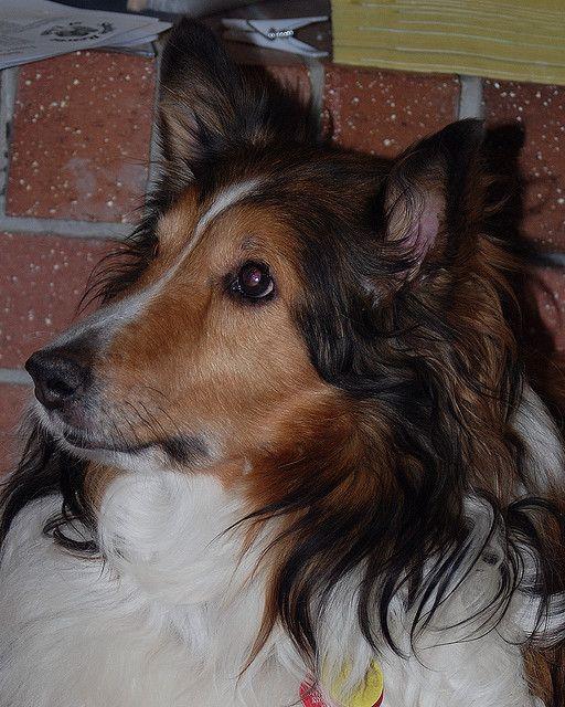 Sheltie Adoption Doggie For Pam 6671 Sheltie, Shetland