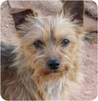 Image Result For Wire Fox Terrier Mix Yorkie Yorkie Dorky Wire