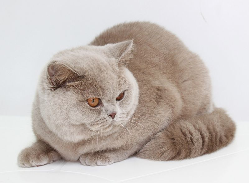 всех фруктов кошка британская фавн москва фото шампунь кетоконазолом ниже