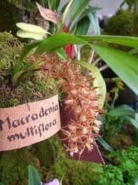 Macradenia brassavolae