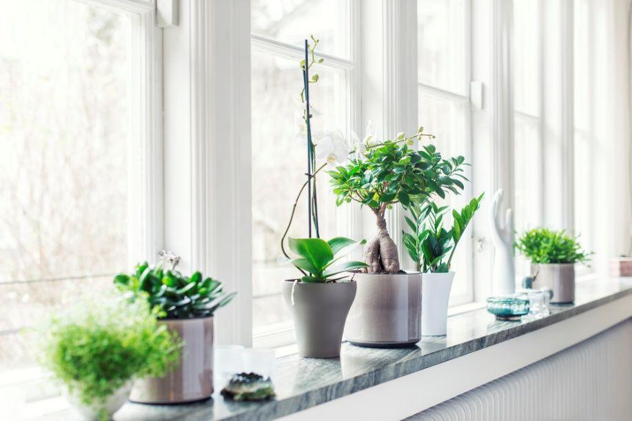 Ikkunaan on lukuisia vaihtoehtoja kasvien asetteluun. Talviaikaan, kun aurinko ei ole niin voimakas, voit valita mitä kasvia tahansa. Kuvassa varjoviikuna, orkidea, rahapuu ja palmuvehka on aseteltu ikkunalaudalle erilaisiin ruukkuihin. Näin myös ruukut lisäävät elävyyttä. Eteläikkunaan voit keväällä ja kesällä laittaa esim. maksaruohokasvia, kiinanruusuja ja varjoviikunaa.