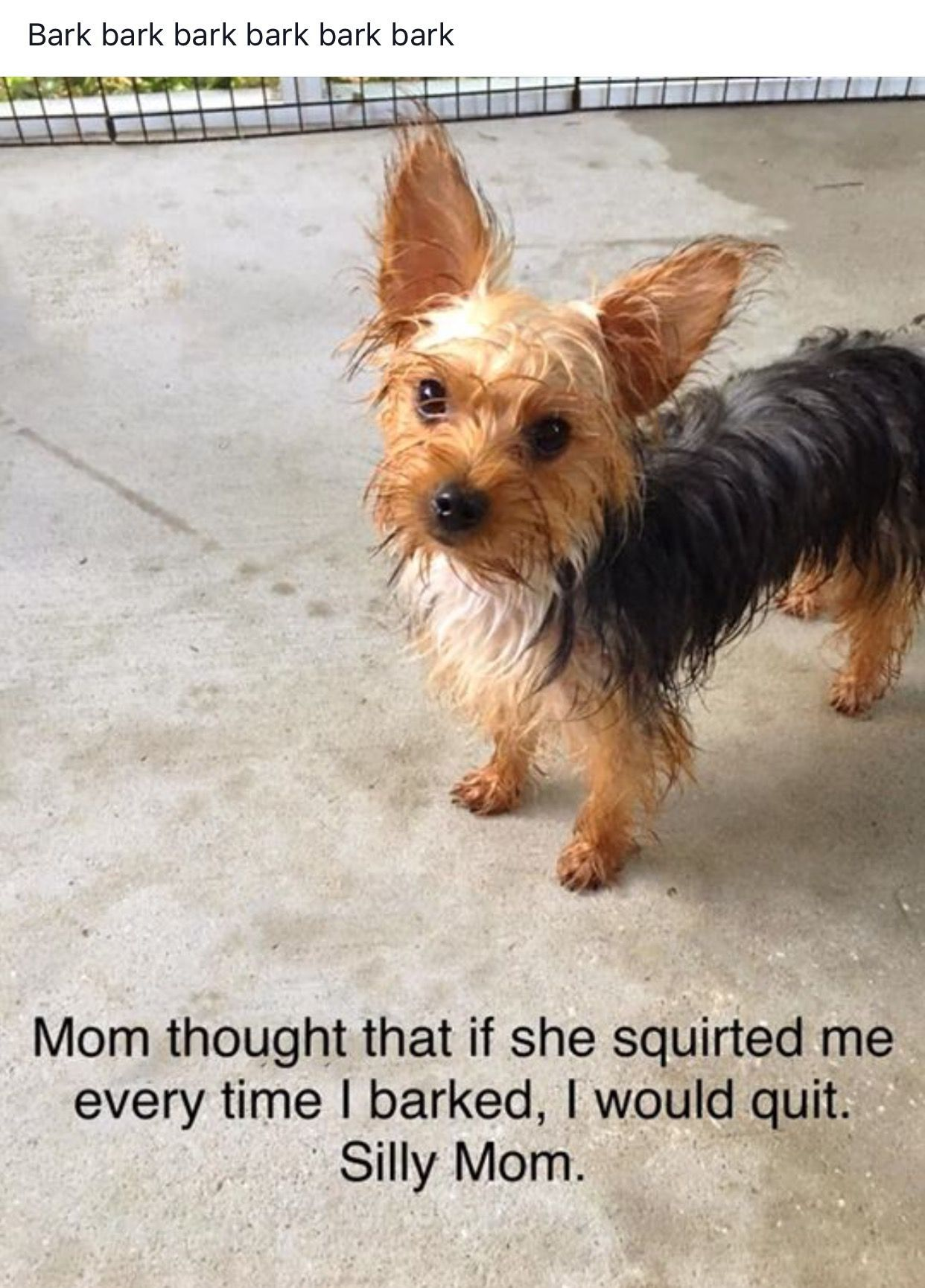 Photo And Pin By Fran Fields Cornelius Gracie Is Quiet And Winnie Is My Barker I Love My Yorkie Yorkiequotes Yorkie Puppy Yorkie Lovers Yorkie Dogs