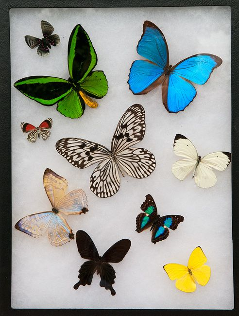 Framed Amazonian Butterflies Display. Real Butterflies! | Framed ...