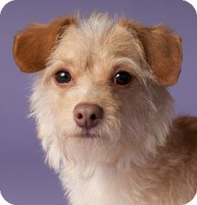 Chicago Il Terrier Unknown Type Small Mix Meet Harry A Dog