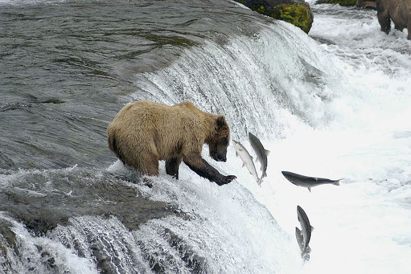 Bears Catching Salmon with Cubs | Bear Catching Salmon