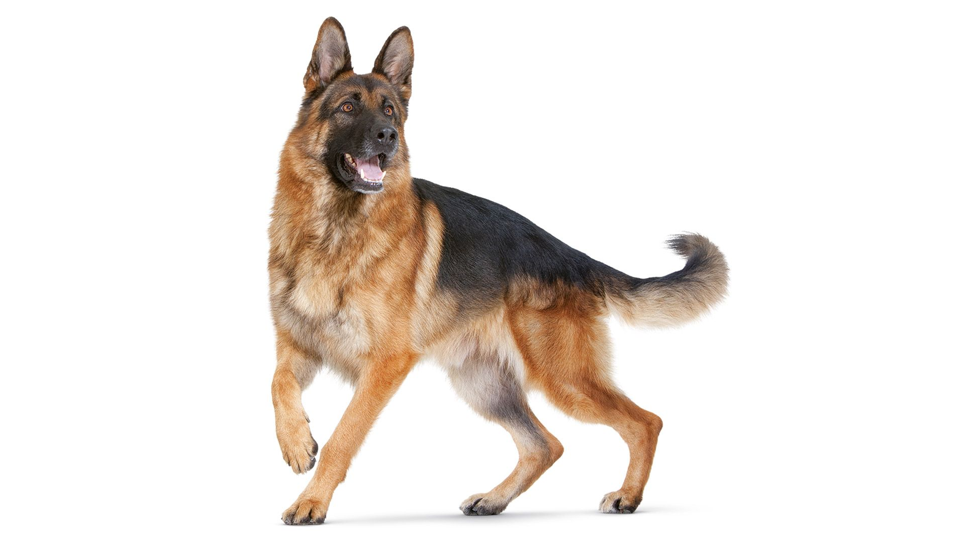 German Shepherd 1920x1080 Jpg 1920 1080 Dog Training Obedience
