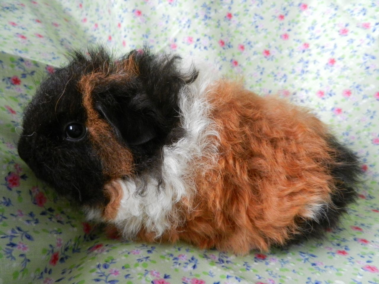 Top 12 Different Types of Guinea Pig Breeds | Guinea pig breeding ...
