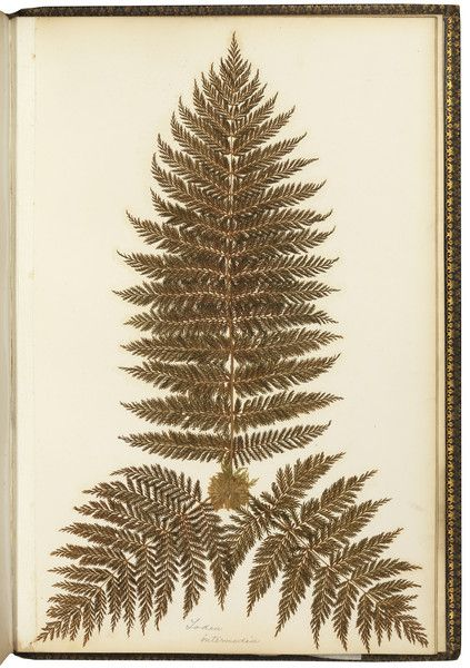 Pressed fern page from a 19th century Victorian album of Australian and New Zealand ferns