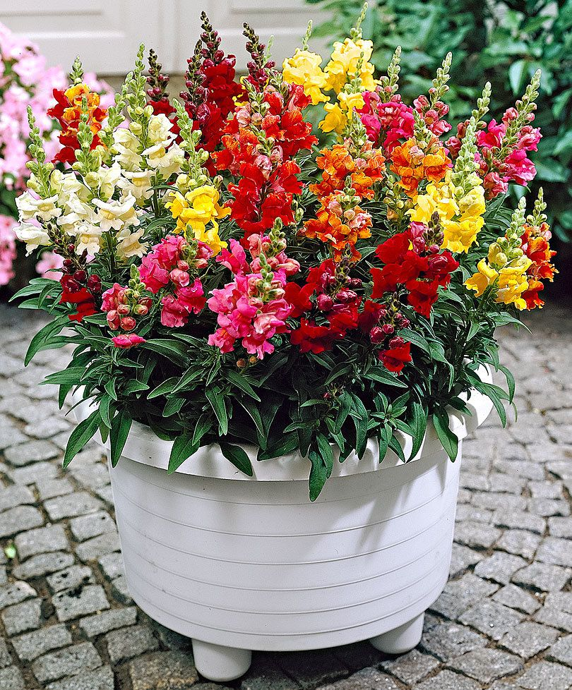 Snapdragon 'Twincolor F1' mix per pack (100 seeds) (с
