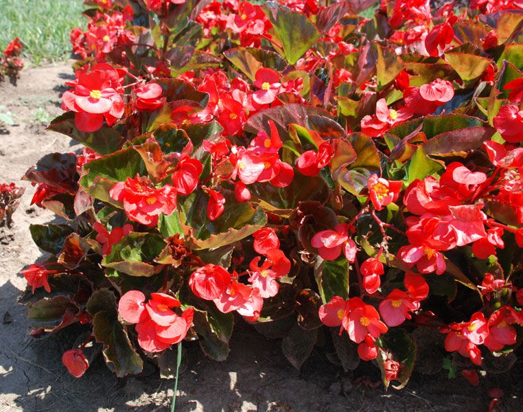 Big Bronze Leaf Red Begonia It Can Take Full Sun With