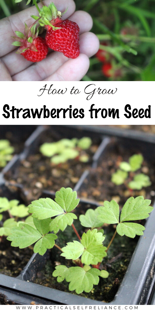 Growing Strawberries From Seed Strawberry Plants Growing Strawberries Indoors Strawberry Seedlings