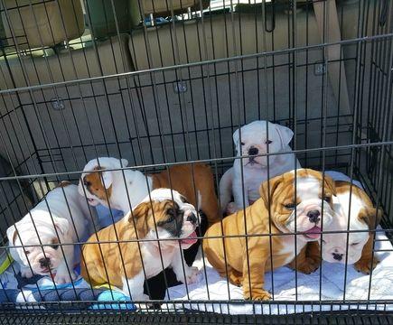 Bulldog Puppy For Sale In Spencer Tn Adn 37212 On Puppyfinder