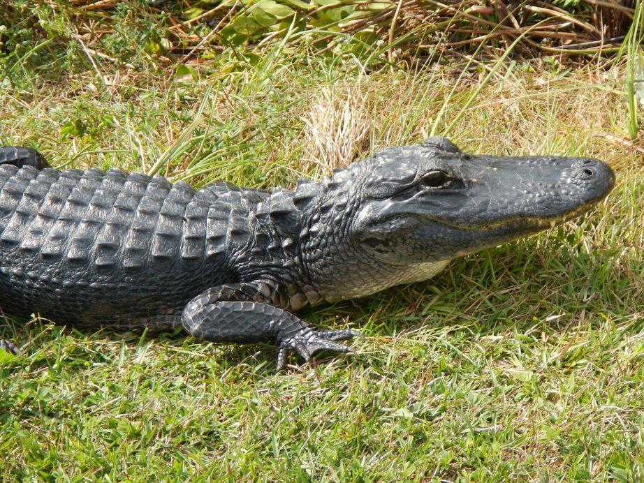 Alligator   Wild About Animals   Crocodiles, Crocodile ...  Alligator   Wil...