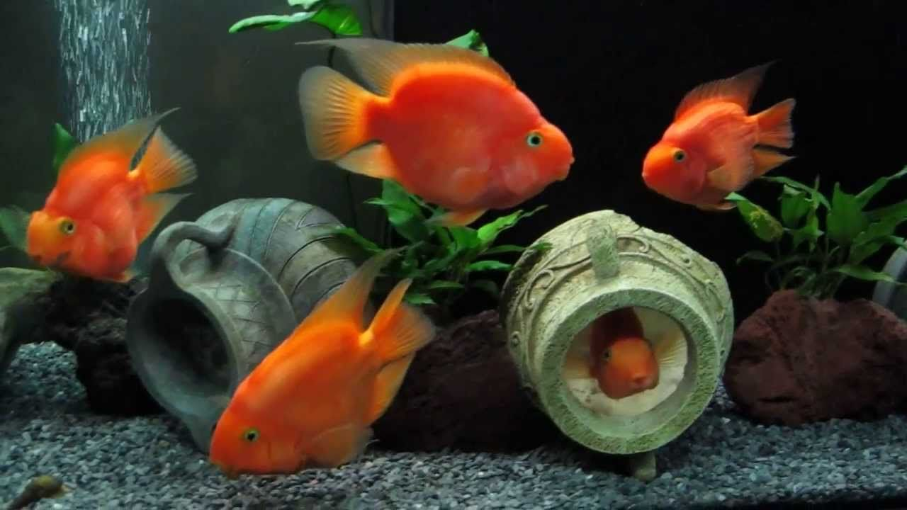 Cichlasoma Red Parrot Cichlid And Tylomelania Nice Vases Tipped On Thier Side Parrot Fish Cichlids Parrot
