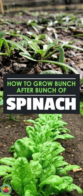 How to Grow Spinach The Right Way