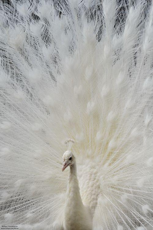 Weißer pfau