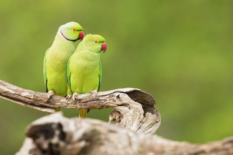 Photo Rose-ringed Parakeets by Milan Zygmunt on 500px