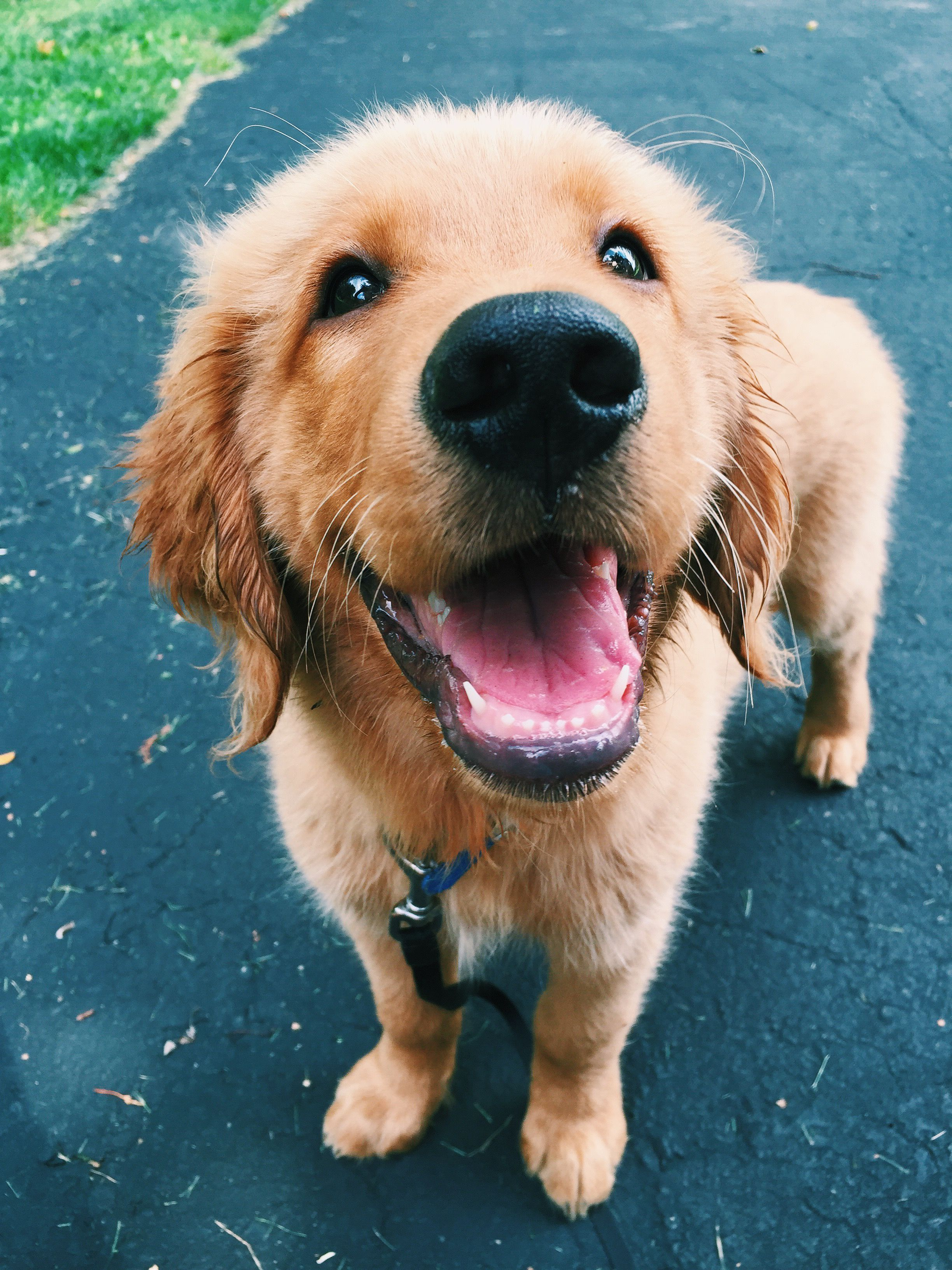 Scientists Have Found That Golden Retriever Owners Love -4876