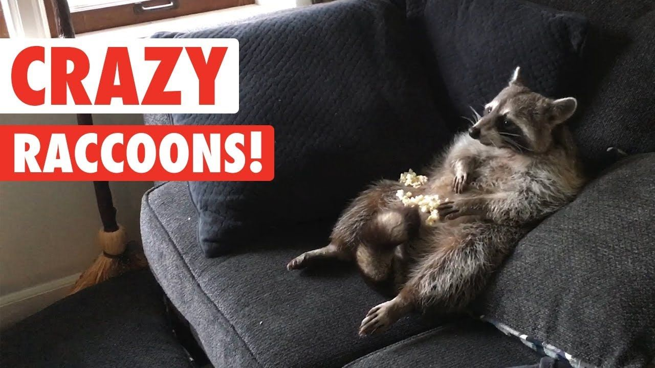 Raccoons Are Just Weird Cats Crazy Raccoon Compilation