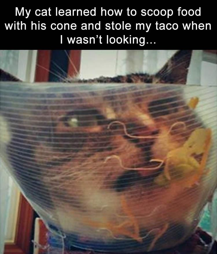 Cat Learned How To Scoop Food His Cone And Stole My Taco When I