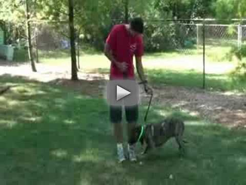 Chicago Dog Training with an Aggressive Pitbull Sit