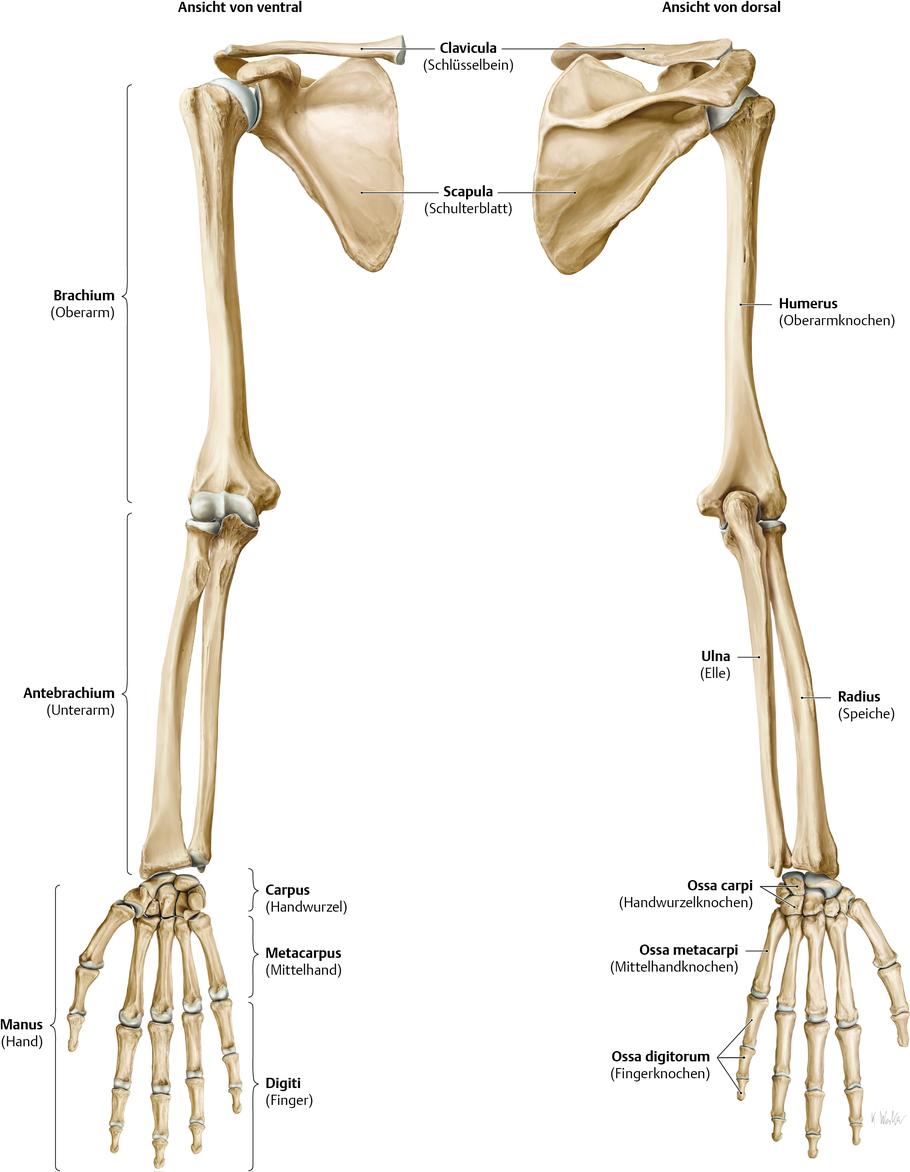 Bildergebnis für Unterarm knochen | Schule - Anatomie | Pinterest ...