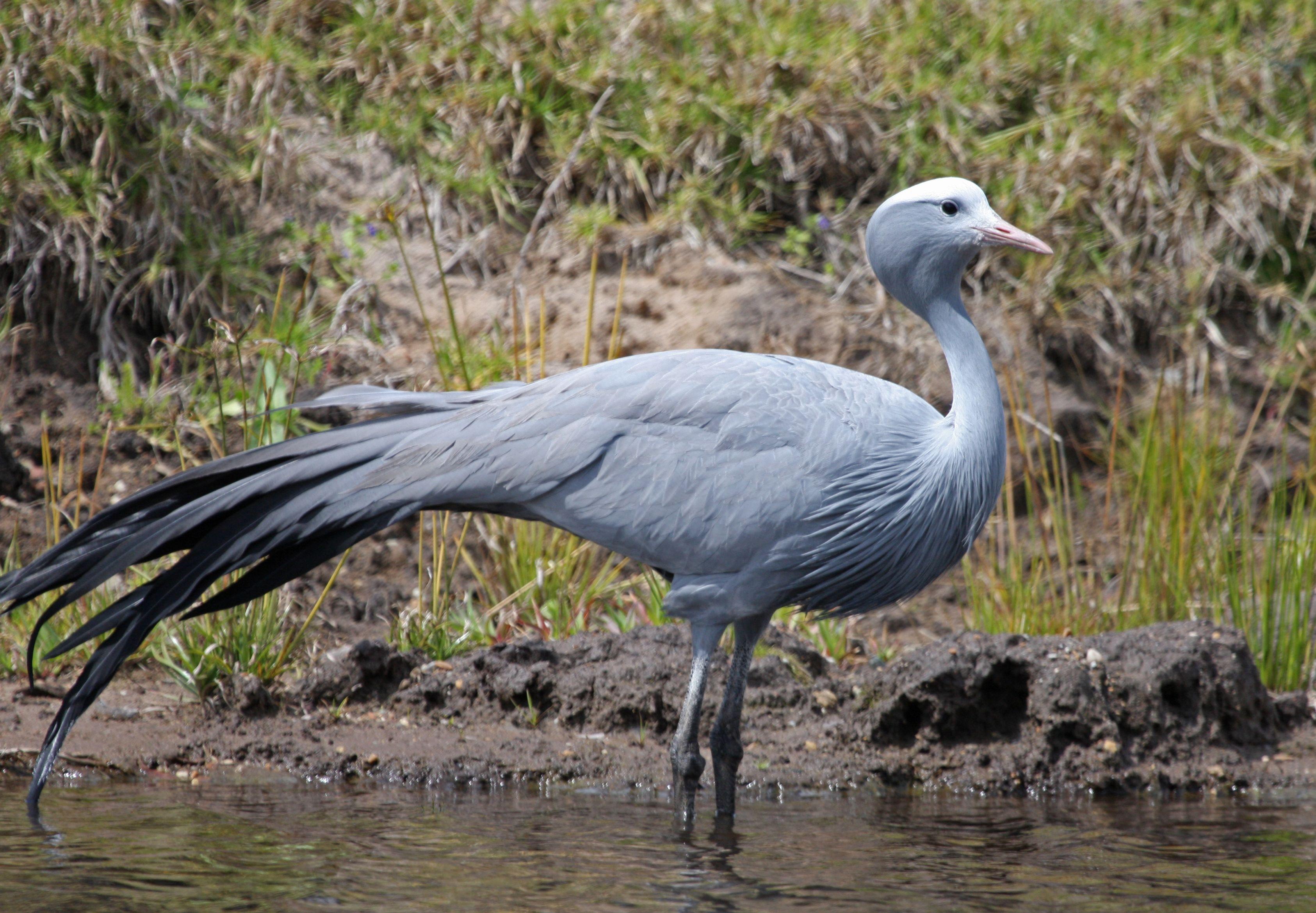 Blue Crane Gruidae Gruinae Pinterest Bird And Animal