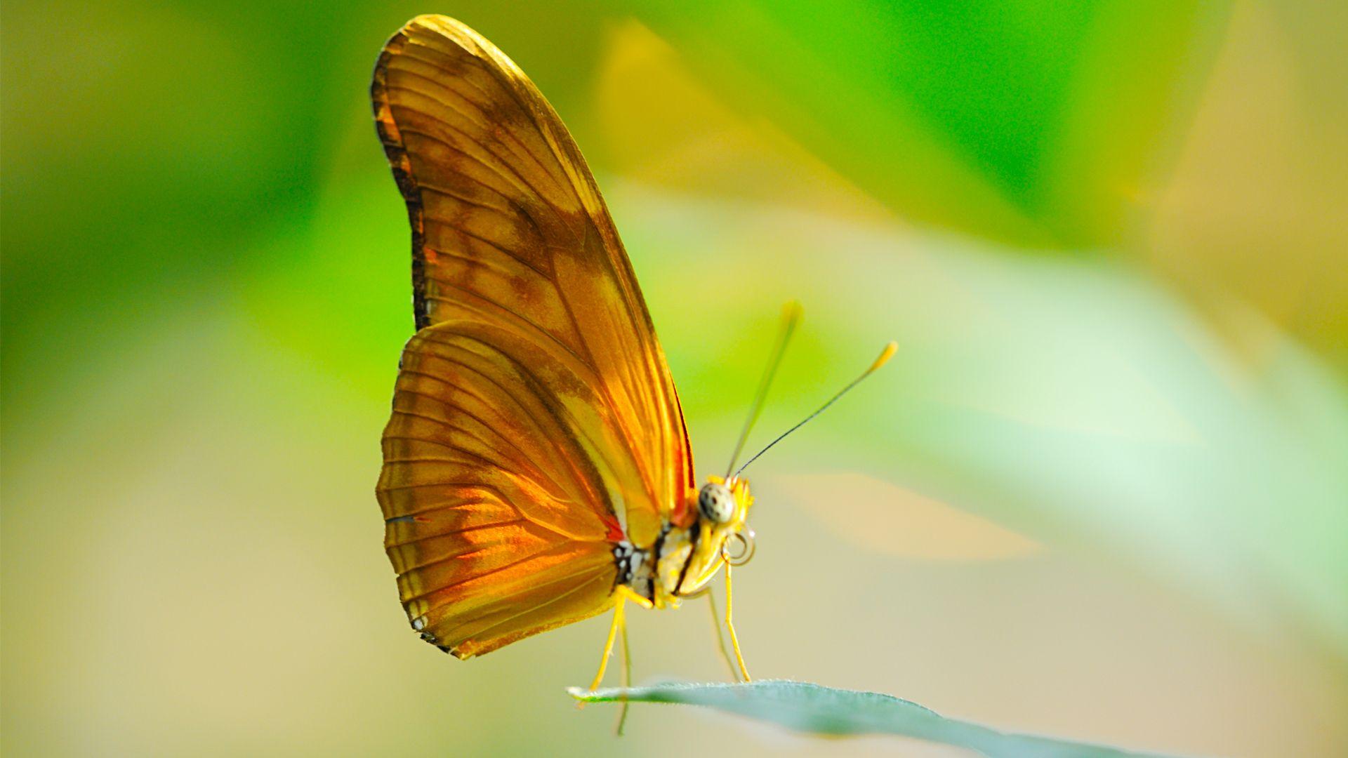 Butterfly Proboscis Wings Wallpapers - Free HD Wallpaper ...