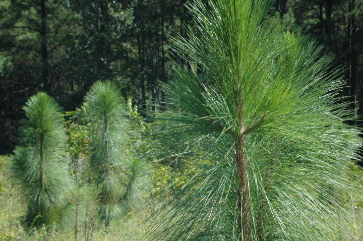 A Young Stand Of Longleaf Pine Being Re Established At Moody Forest In Baxley Ga