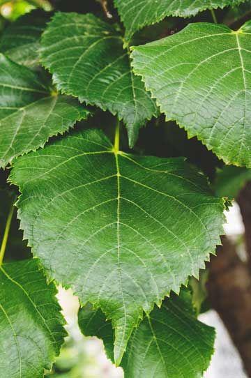 El tilo de holanda tilia platyphyllos tiene unas hojas for Arboles ornamentales jardin