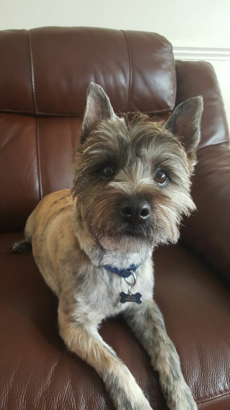 this is archie after his first hair cut | cairn crazy