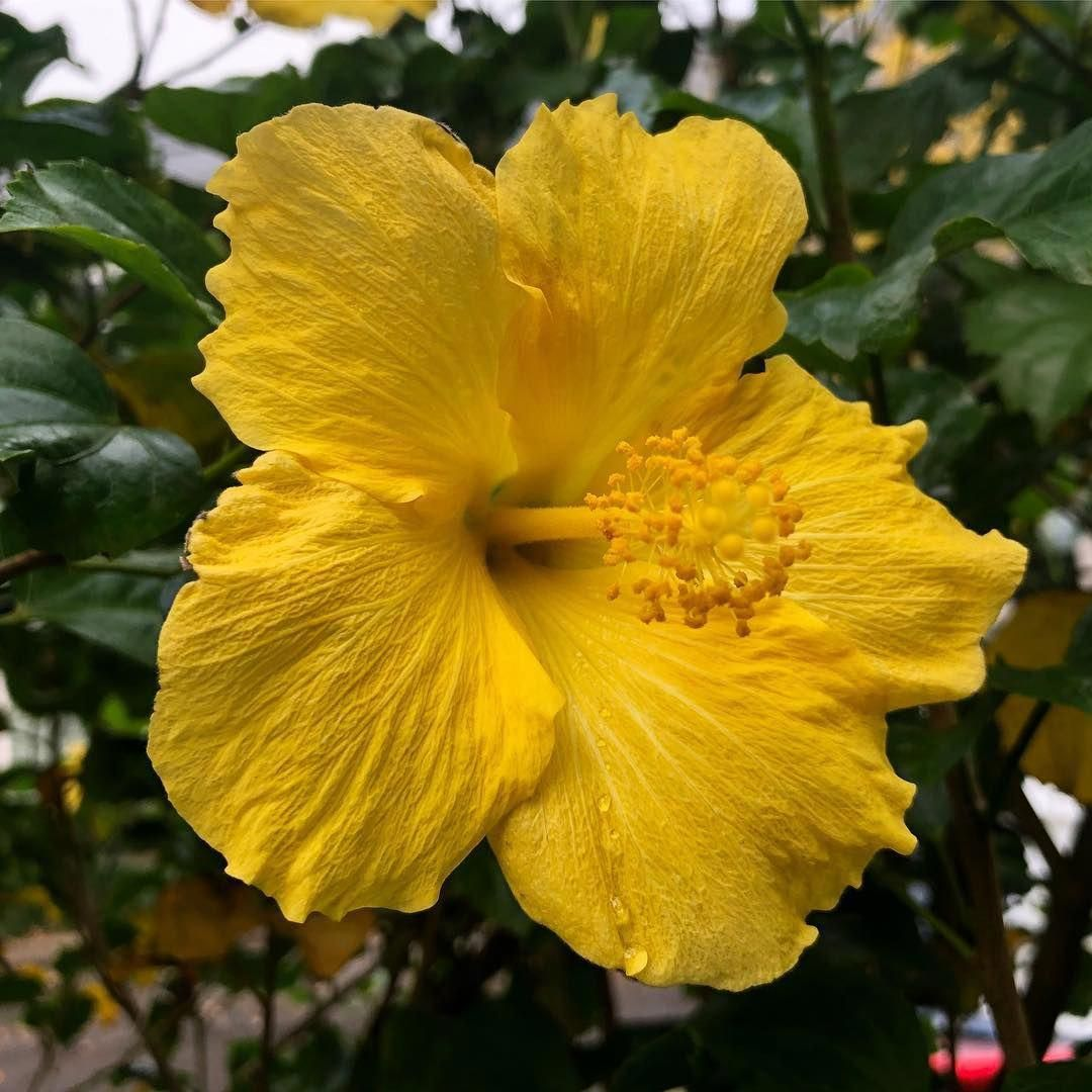 Hibiscus Flower Benefits For Hair And Skin Hibiscus Growing Hibiscus Hibiscus Plant Hibiscus Flowers