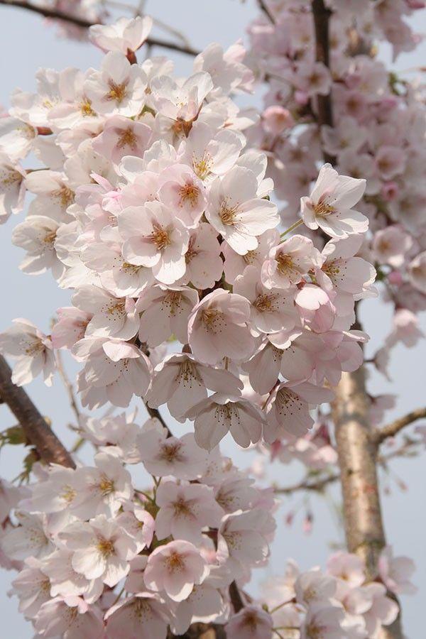 Yoshino Cherry Prunus X Yedoensis Chew Valley Trees Prunus X Yedoensis Yoshino Cherry Prunus