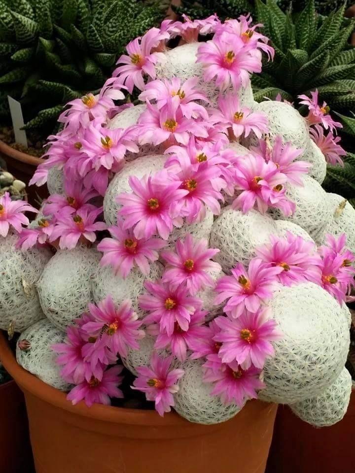 mammillaria cactos suculentas cactus succulents pinterest cactus cactus jardin et fleur. Black Bedroom Furniture Sets. Home Design Ideas