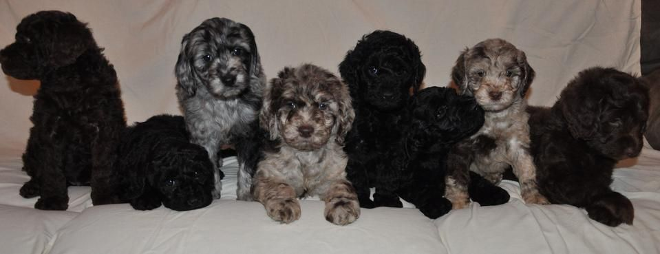 Kent Family Farms Mini Goldendoodles Goldendoodle Puppy