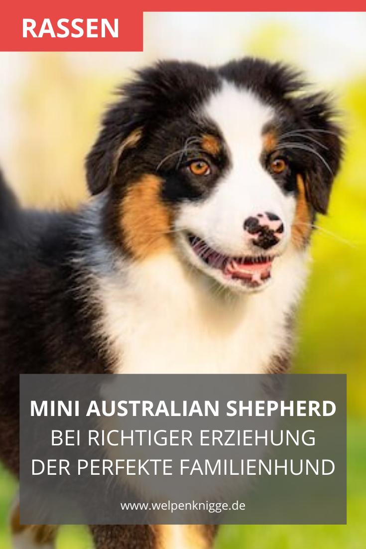 Mini Australian Shepherd Welpen Sind Treu Selbstbewusst Mutig Und Argwohnisch In 2020 Australian Shepherd Mini Australian Shepherd Welpen Welpen