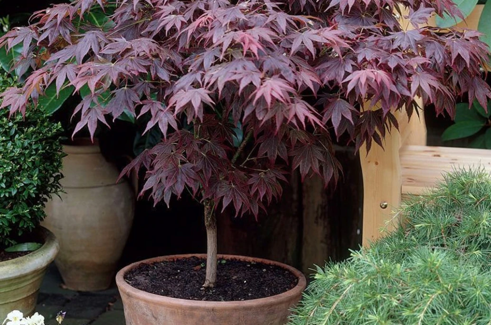 Growing Japanese Maples in Pots