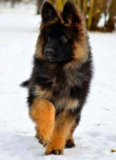 Black Red Full Coat Long Haired Short Muzzle Beautiful Pup German Shepard Puppies Shepherd Puppies Dogs