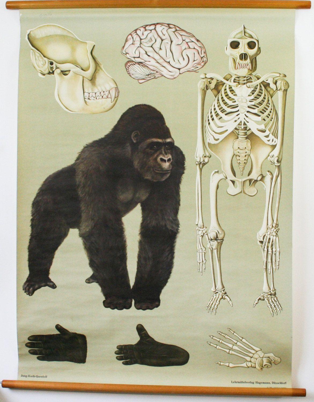 Vintage Biology Chart, Gorilla, Anatomical chart