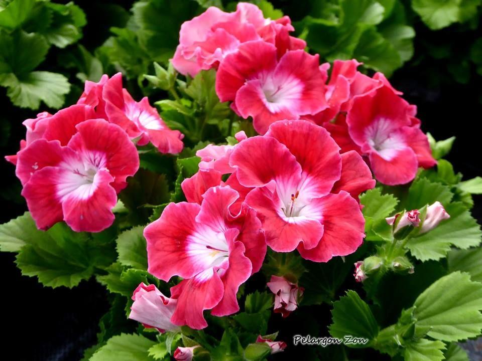 Bermuda Cherry Pelargonium Pac RegbecherPelargonie fbmYg7I6yv