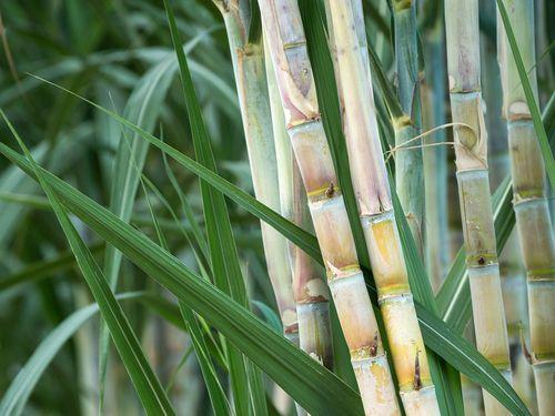 Introduction To Growing Sugarcane Caña De Azucar Frutas Y Verduras Cultivar