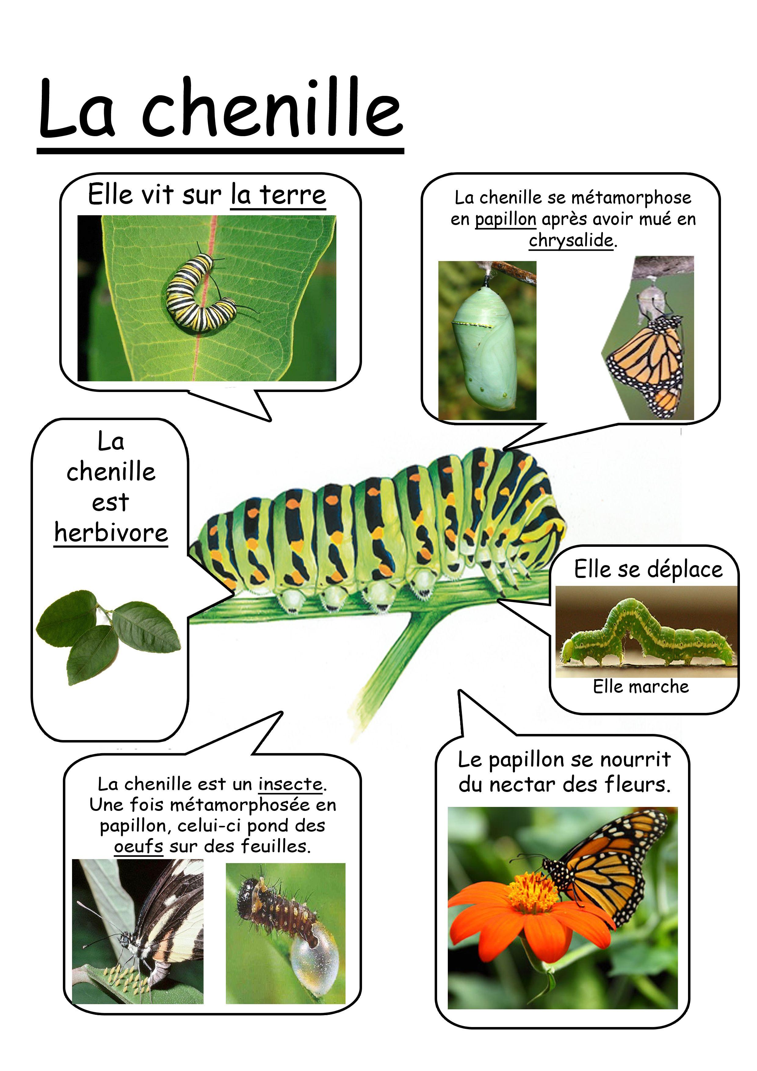 Fiche identit chenille sciences pinterest chenille identit et fiches - Duree de vie papillon de nuit ...