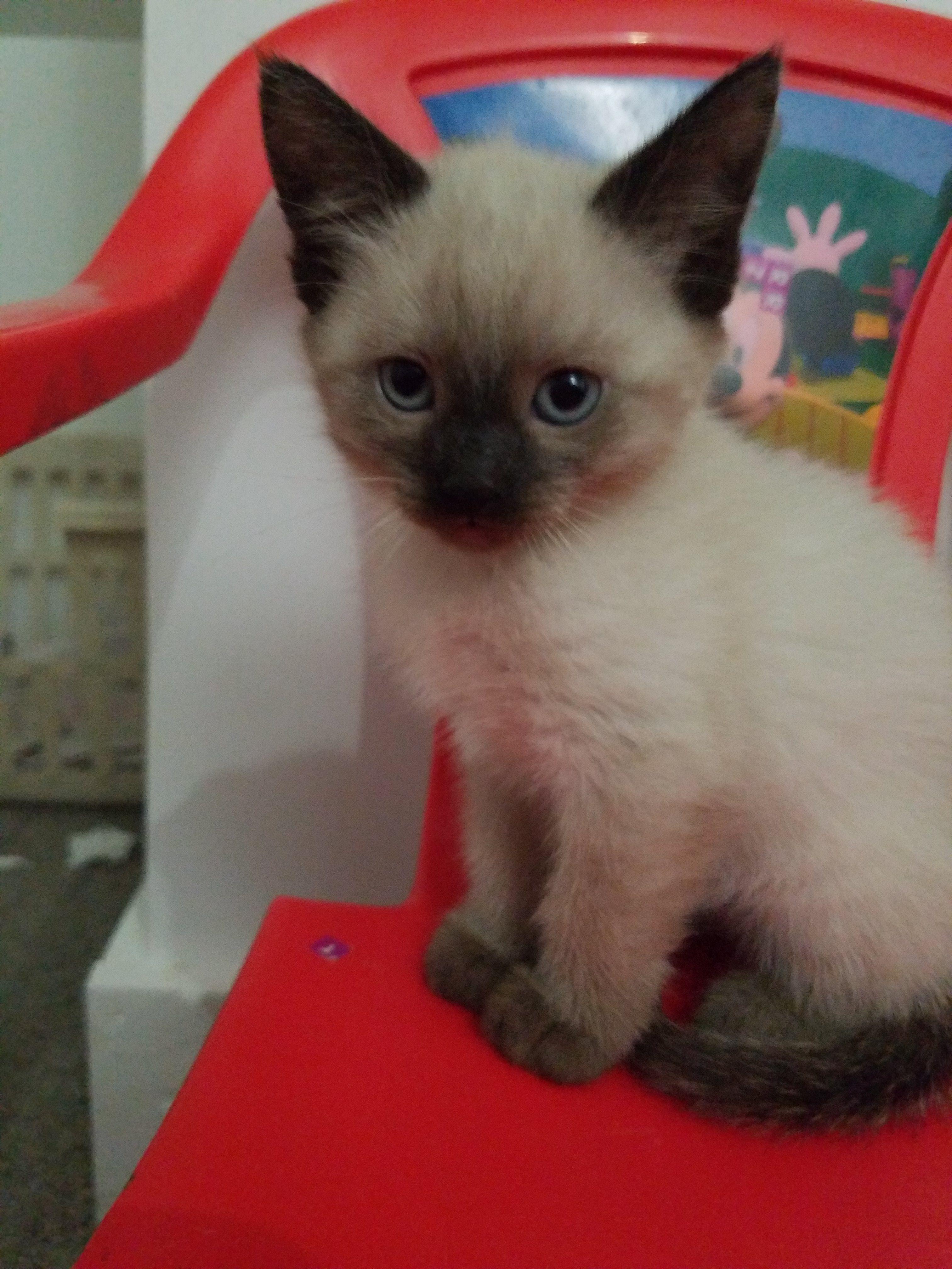 Siamese Kittens Siamese Cats For Sale Siamese Cats Siamese