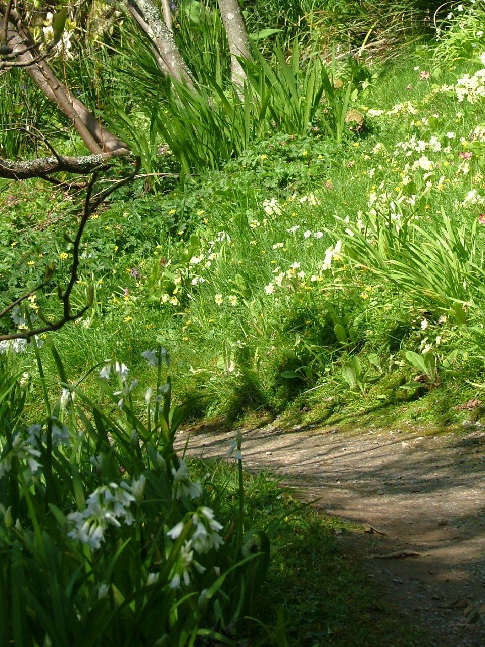 Wild garlic and primroses at NT Coleton Fishacre, Devon