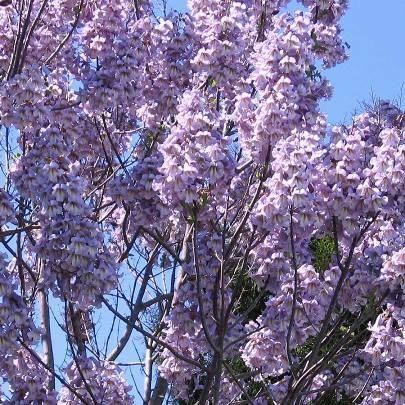 Lavender Paulownia Elongata Princess Tree Empress Tree