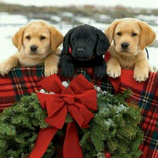 Merry Christmas Puppies.Merry Christmas Christmas Dogs Christmas Puppy