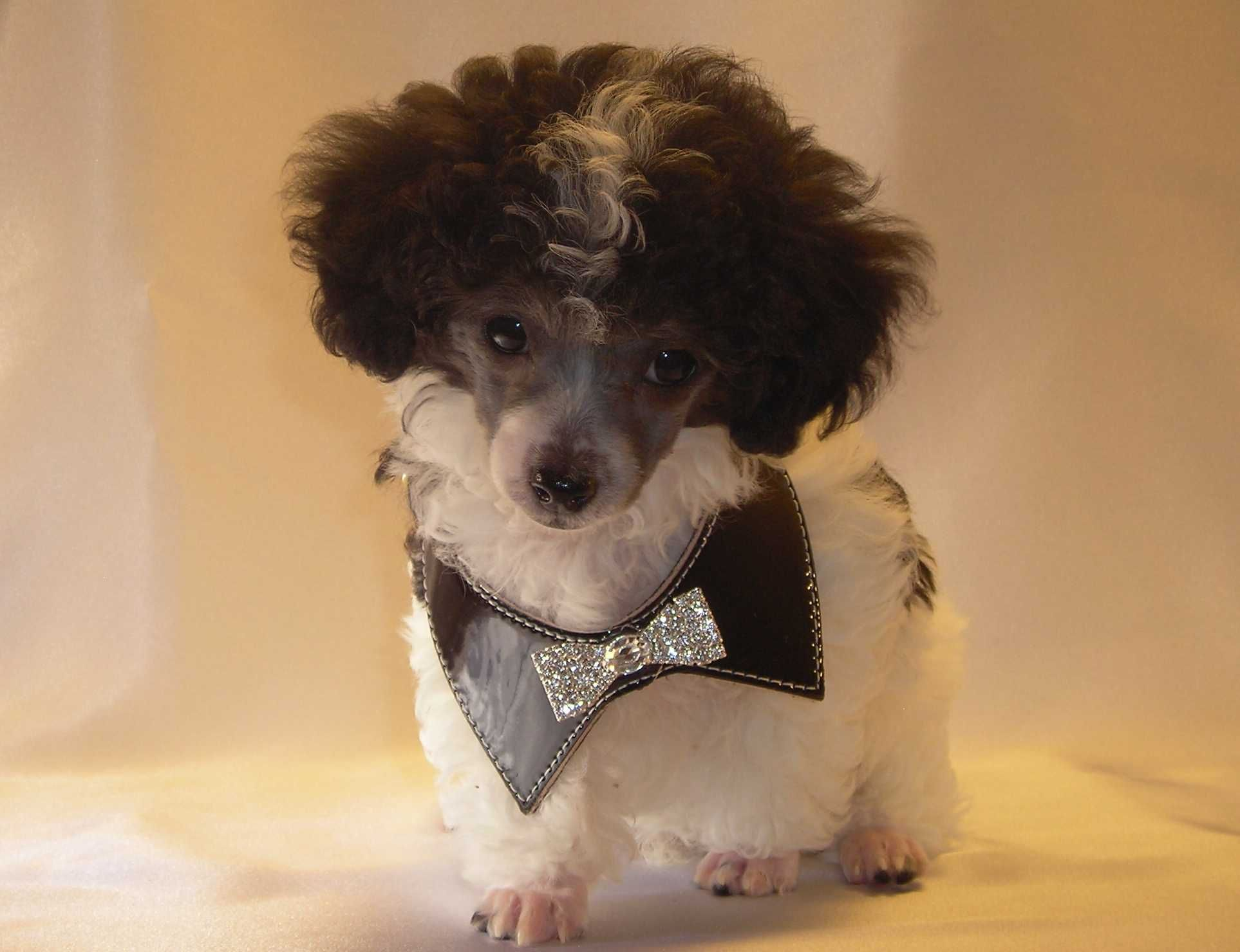 Teacup Poodle My Little Charlie Is One Of These And He Is Such Good Company Tea Cup Poodle Poodle Teacup Poodle Puppies