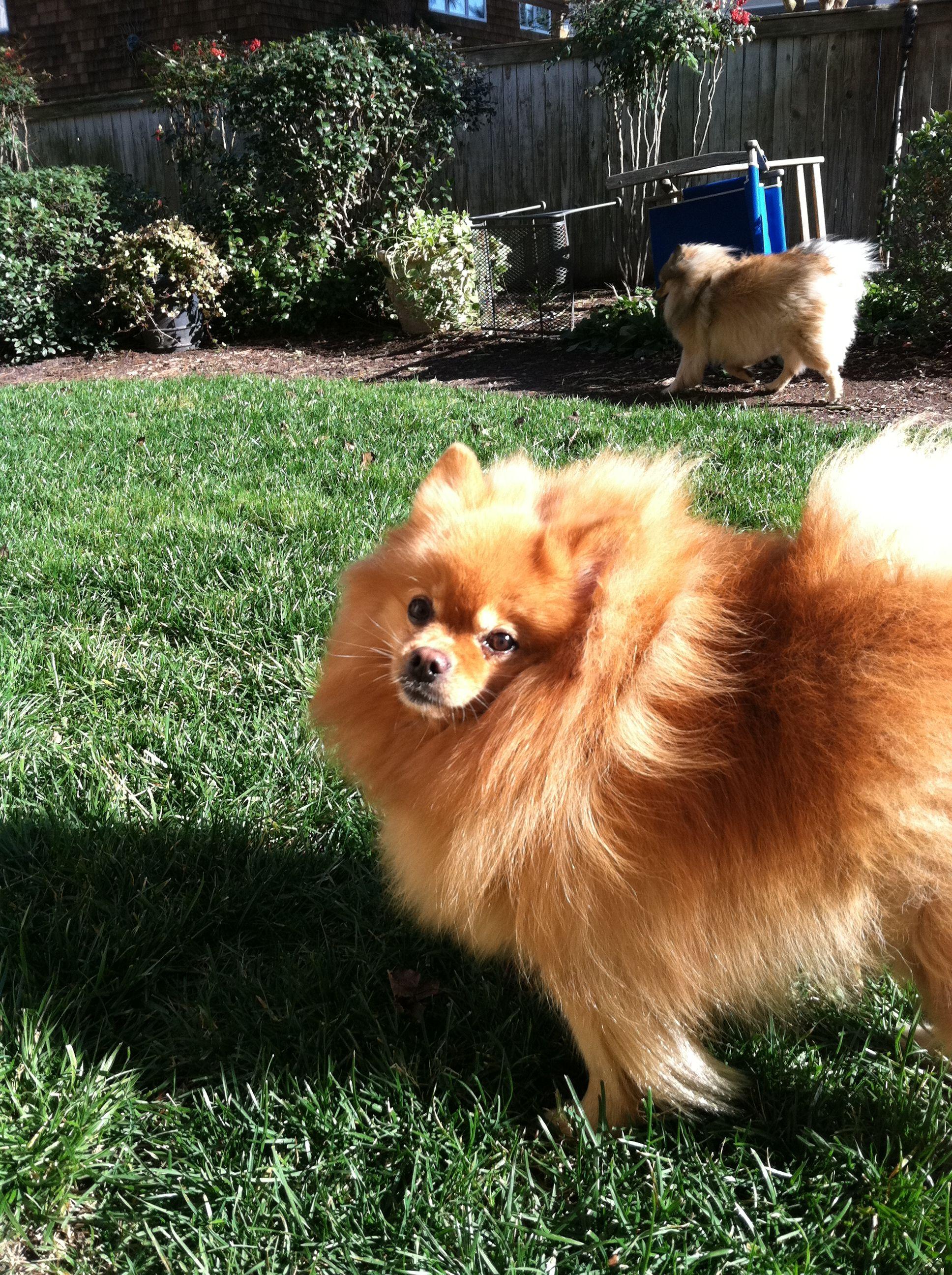 Bear Backyard Pomeranian Animals Pets Dogs