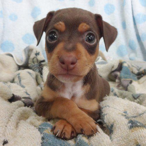 Miniature Pincher With Images Miniature Pinscher Puppy Low